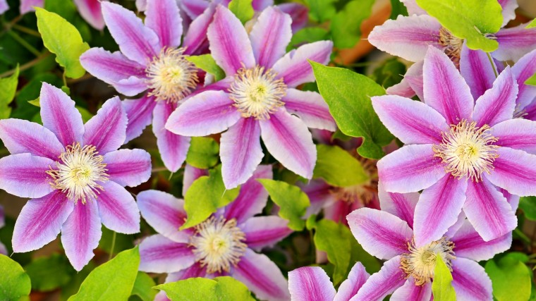 Clematis Wallpapers