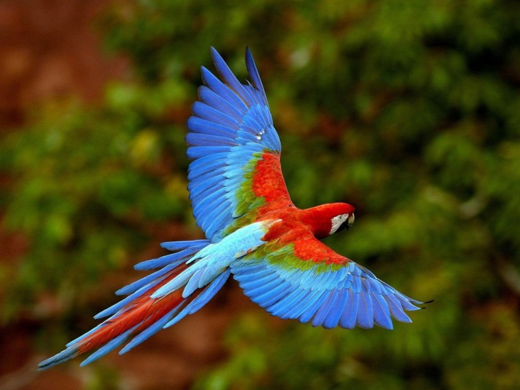 Red-and-green Macaw Wallpapers