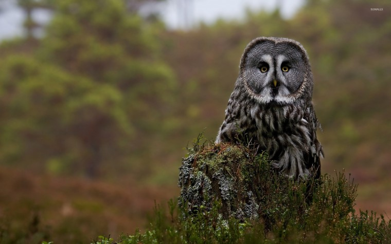 Great grey owl Wallpapers