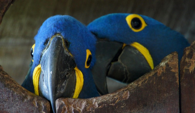 Hyacinth Macaw Wallpapers