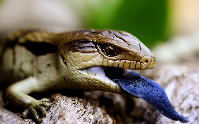 Blue-Tongue Skink Wallpapers