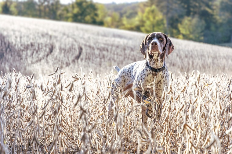 German Shorthaired Pointer Wallpapers