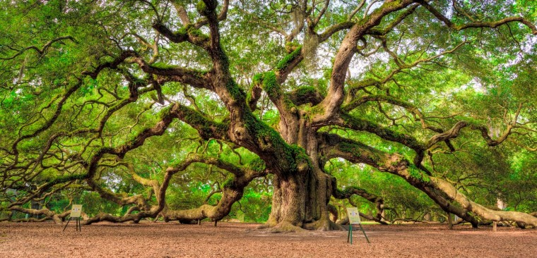 Angel Oak Tree Wallpapers