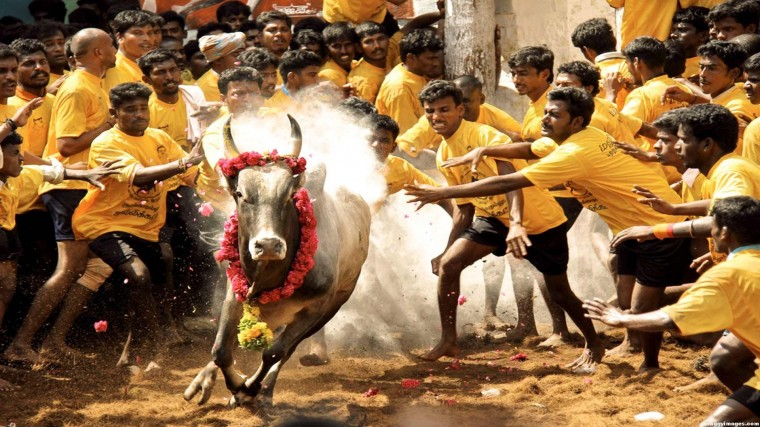 Jallikattu Wallpapers
