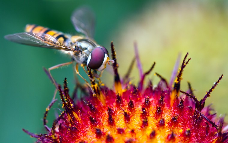 Hoverfly Wallpapers