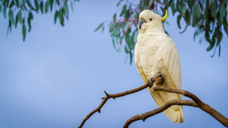 Sulphur-crested cockatoo Wallpapers