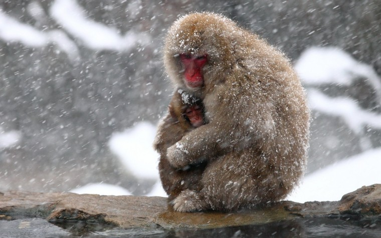Japanese Macaque Wallpapers