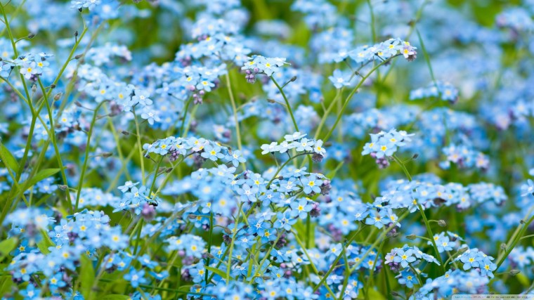 Forget-Me-Not Wallpapers