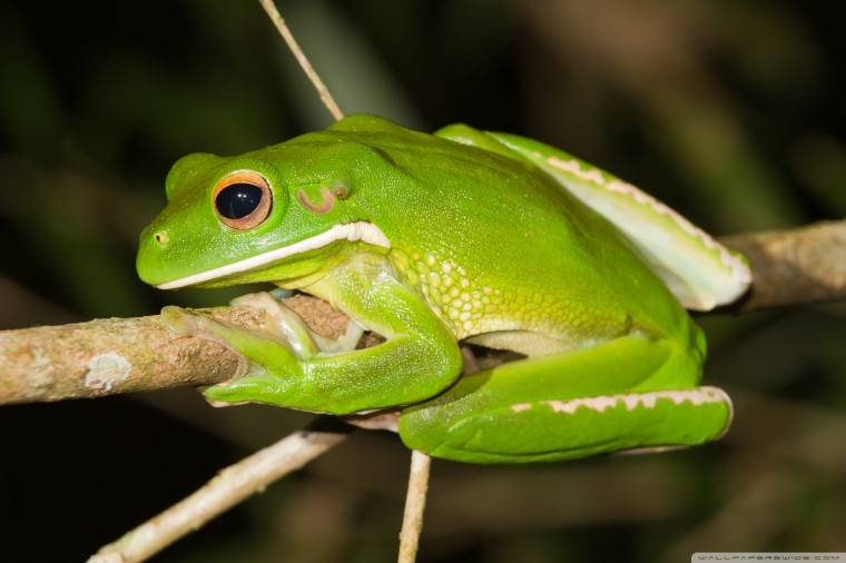 White-Lipped Tree Frog Wallpapers