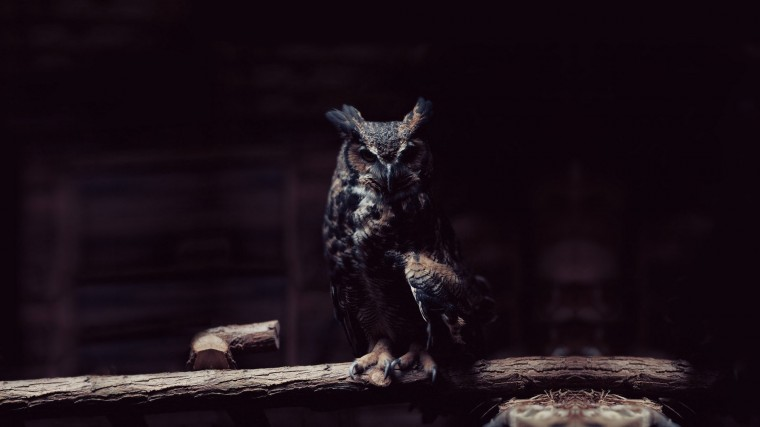 Great horned owl Wallpapers