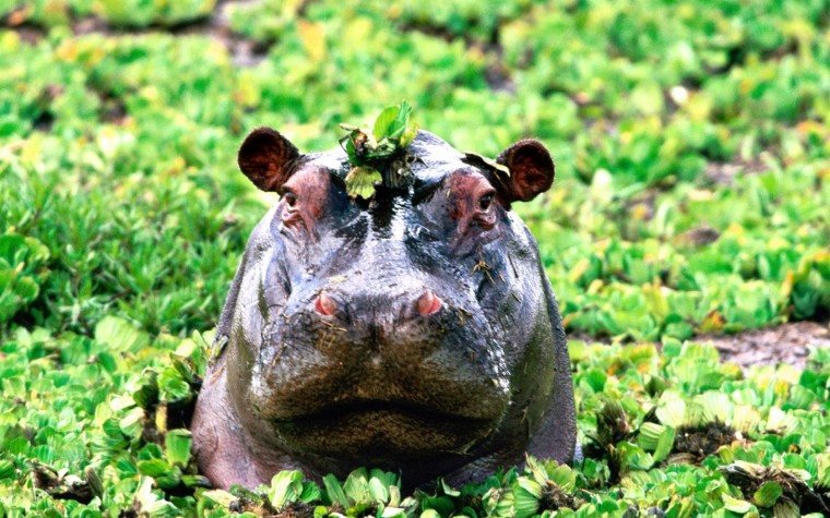 Hippo Wallpapers