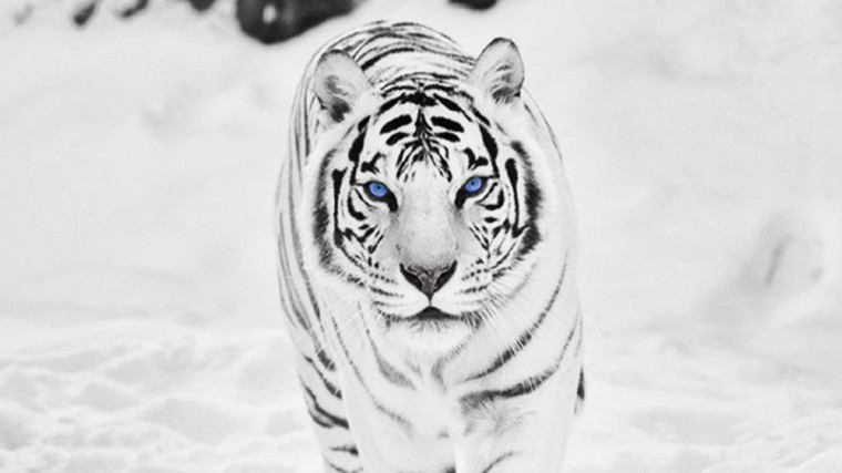 White Tiger Wallpapers