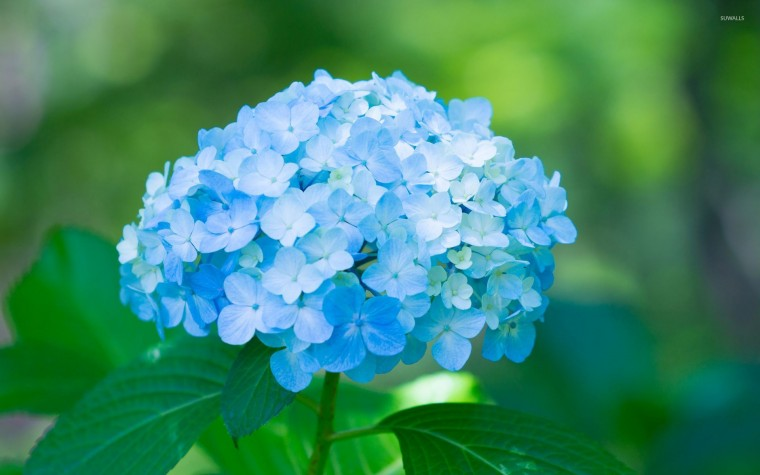 Hydrangea Wallpapers