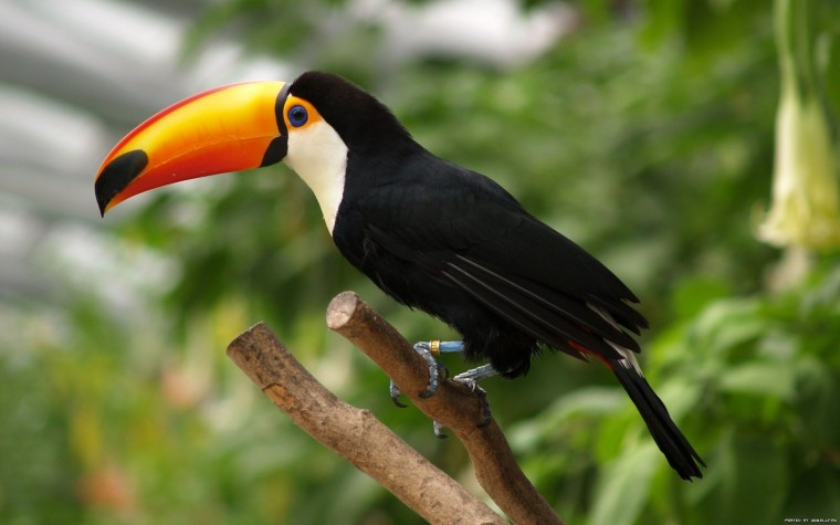 Toco toucan Wallpapers
