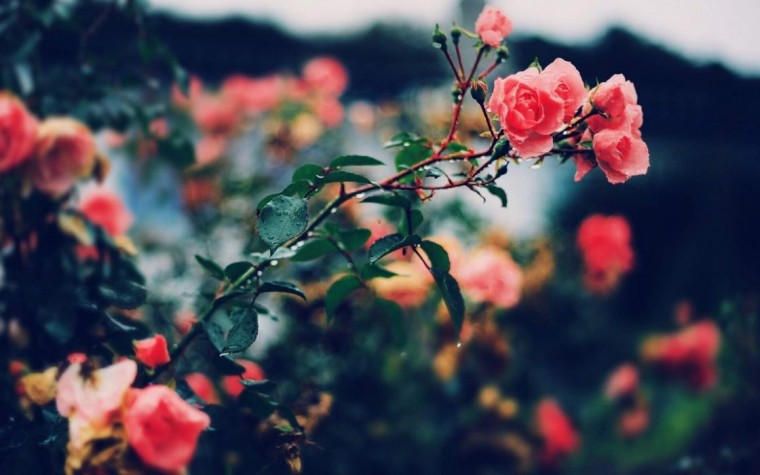 Rose Bush Wallpapers