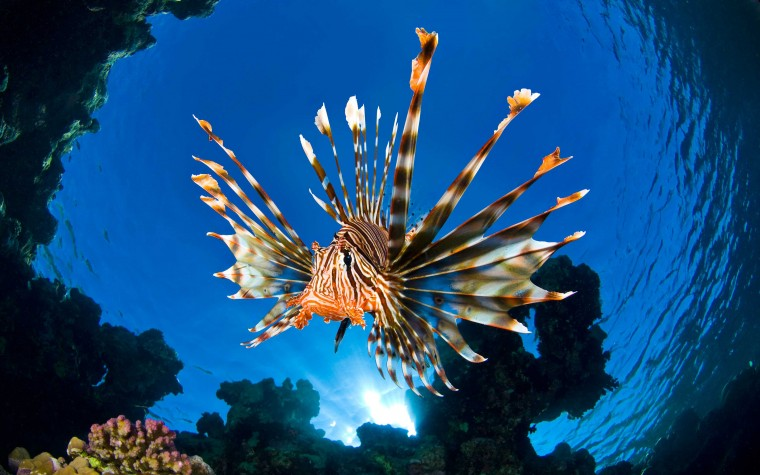 Lionfish Wallpapers