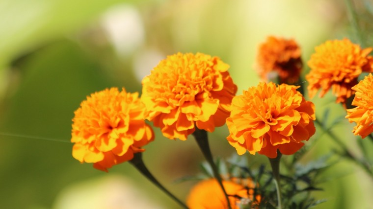 Marigold Wallpapers