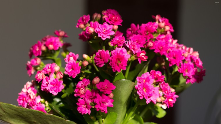 Kalanchoe Wallpapers