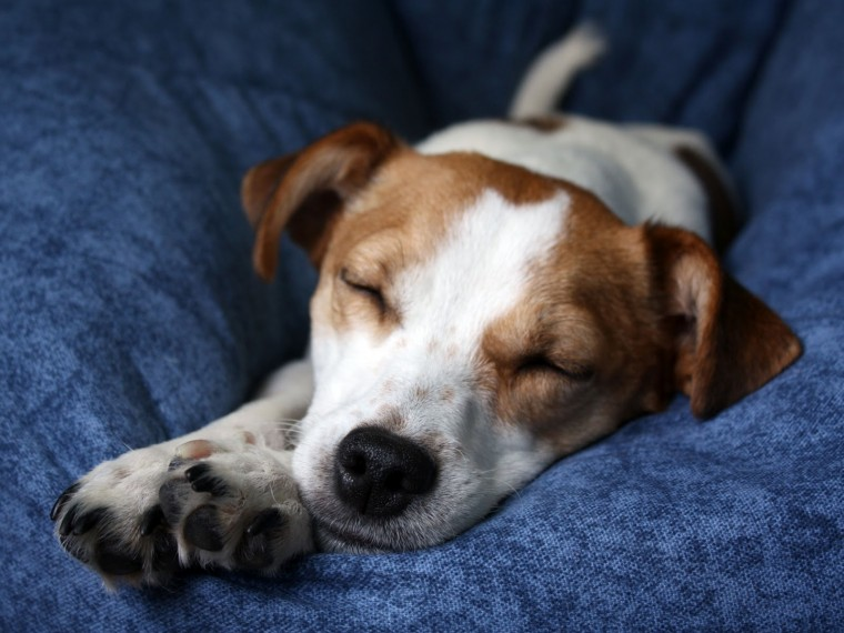 Jack Russell Terrier Wallpapers