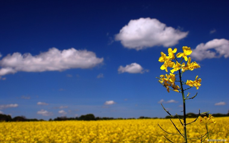 Canola Wallpapers