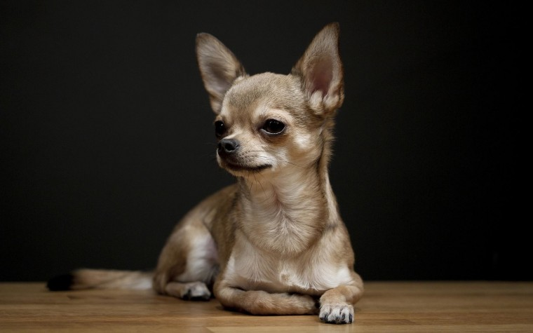 Chihuahua Wallpaper and Screensavers